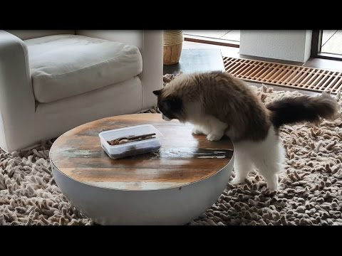 Fluffy cat scared of walnuts (funny)-  Timo the Ragdoll Cat