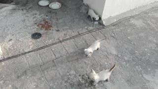 Siamese marshmallow kittens