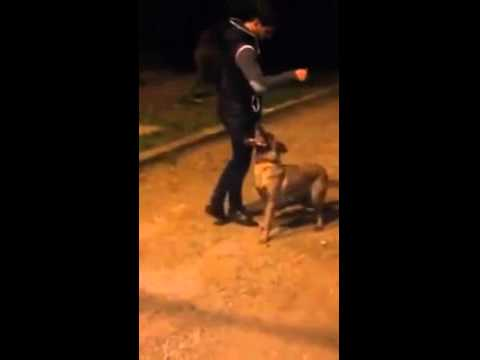 Training of dog malinois morocco