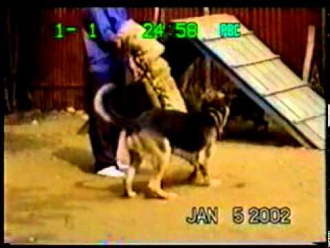 Dạy chó bảo vệ chủ và canh giữ tài sản