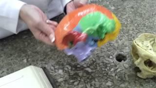 череп в целом
