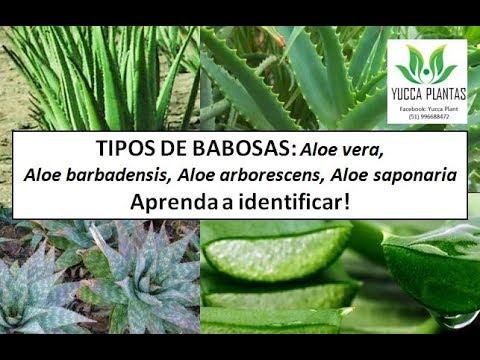 Tipos De Babosas Aloe Vera Aloe Saponaria Aloe Arborescens
