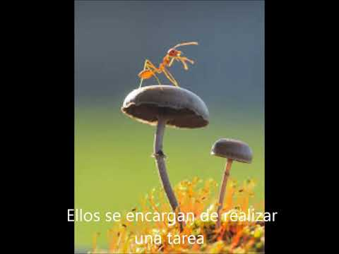 Hormigas Flavio, Sherlyn