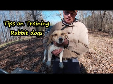 Training Beagles to run Rabbits / Fast Rabbit dogs/How to train great  beagles to run rabbits