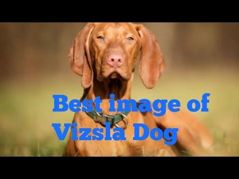 best vizsla dog image.