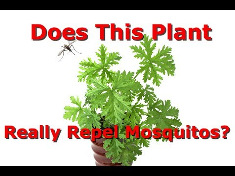 Which Is The Real Citronella Plant? Does It Repel Mosquitos?