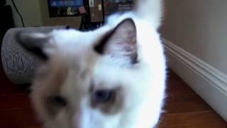 Кот мурлыкает в камеру