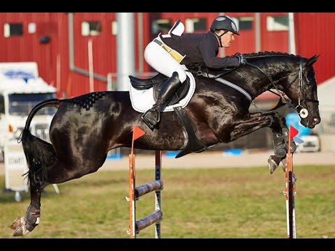 Junior Grand Prix Jumping Contest - 2016 Royal Melbourne Show Horses In Action