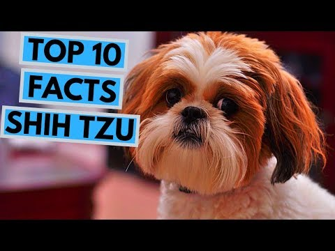 Shih Tzu - TOP 10 Interesting Facts