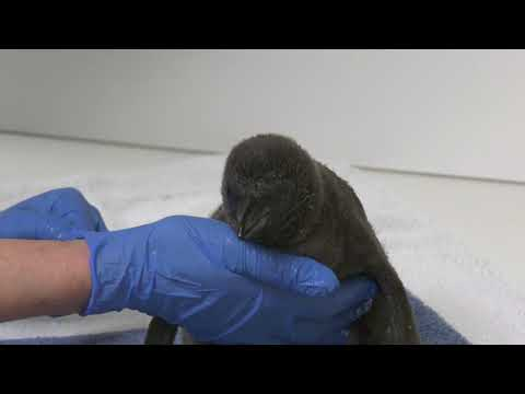 Penguin chick born at Brookfield Zoo   Chicago.SunTimes.com
