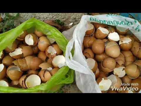 #เปลือกไข่ #ปุ๋ยธรรมชาติ  ประโยชน์ของเศษอาหารและเปลือกไข่ ที่ใครๆมองข้าม