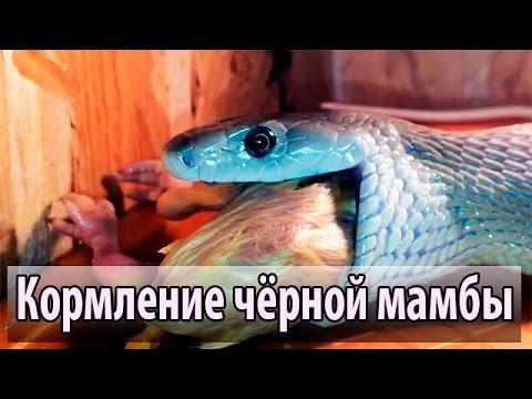 Объявления Сорочинск Мамба