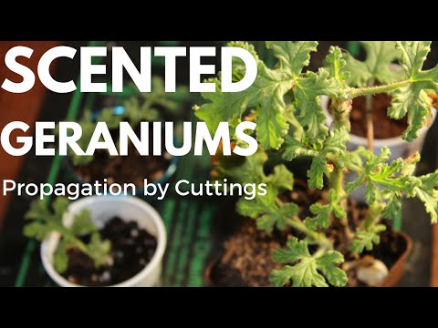 How To Propagate Scented Geranium (Pelargoniums) From Cuttings: Tutorial Gardening For Beginners