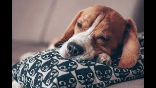 Dog music: Soft sleep music for dogs!