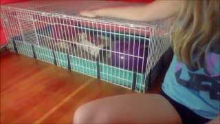 Cleaning The New Guinea Pig cage!