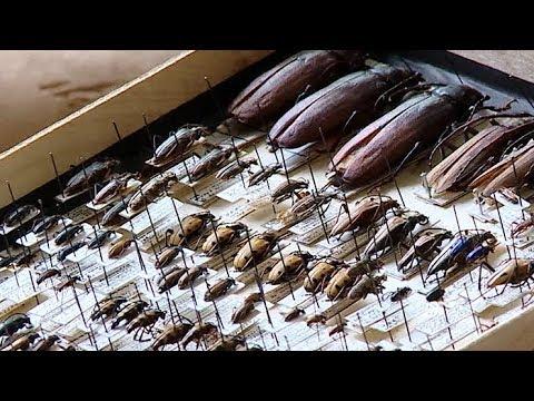 Жук или роща? Кубанский энтомолог рассказал о краснокнижном жуке, поедающем Чистяковку