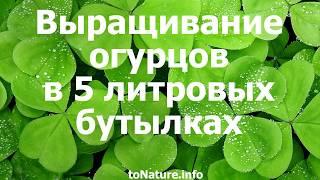 Смотреть видео Посадка огурцов в 5 литровых бутылках