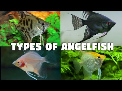 Type Of Angelfish