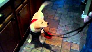 Mobility Assistance Dog  (in Training)