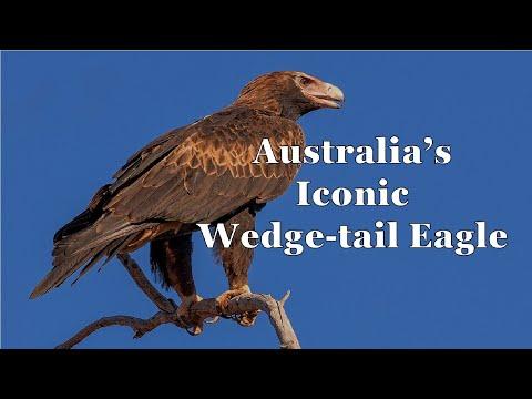Australia's Wedge Tail Eagle (Memphis Zoo/World Bird Sanctuary) - Episode 141
