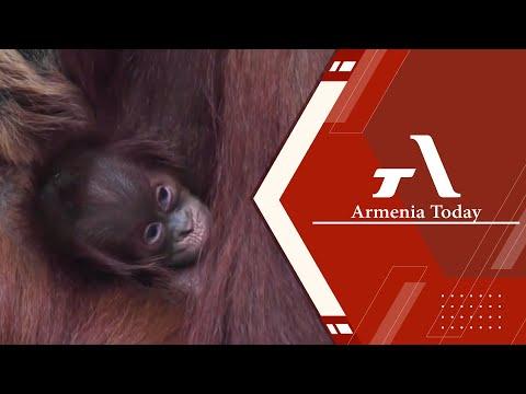 Зоопарк на севере Англии приветствовал малыша Суматран орангутан