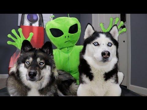 Alien Invasion Prank On My Huskies! Funny Ending!