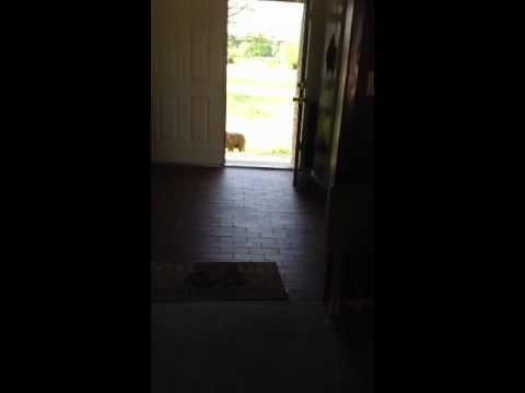 Wait command dog training
