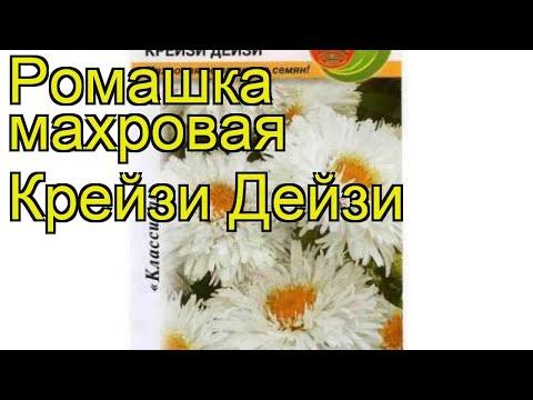 Ромашка махровая (Крейзи Дейзи). Краткий обзор, описание характеристик, где купить семена