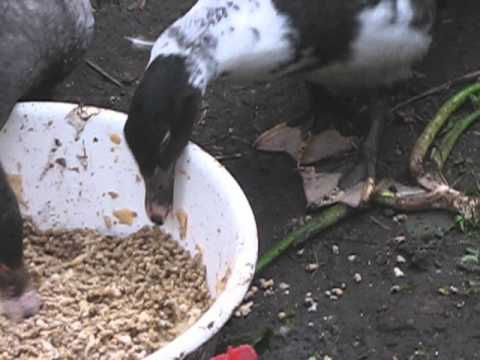 domestic ducks feeding time