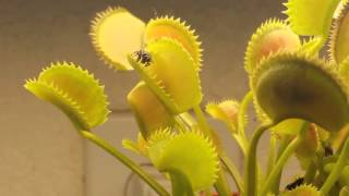 Venus Flytrap - Fly Caught Close Up! Slow Motion! HD!