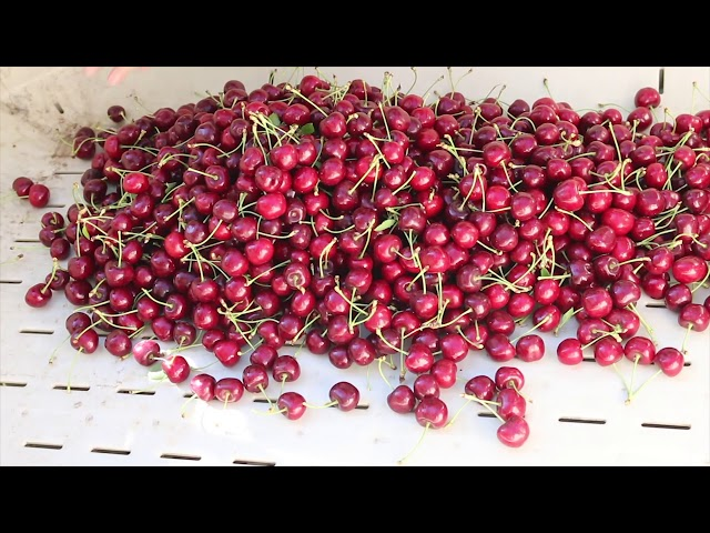 Mi viaje a Yakima para ver como crecen las cerezas. My trip to Yakima to a cherry orchard.