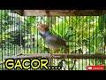 Suara Prenjak Jantan Pikat Gacor Pancingan Prenjak Bahan Masteran  Mp3 - Mp4 Download