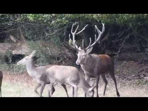Rykowisko Hirschbrunft Brame du Cerf Red Deer Rut 2016 nr10