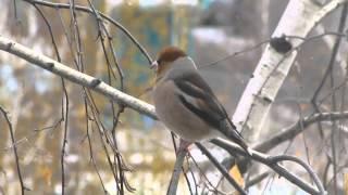 дубонос птица красавец сидит напротив окна