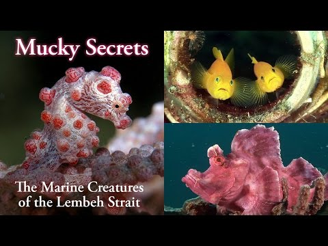"""Mucky Secrets"" is a nature documentary about the marine life of the Lembeh Strait at the heart of the Coral Triangle off north Sulawesi in Indonesia. The Lembeh Strait is a popular scuba diving destination, famed for its excellent ""muck diving"". A huge diversity of weird and wonderful marine creatures can be found on the mucky seabed, including everything from tropical fish to benthic sharks to nudibranchs. Critters compete for survival with an armoury including camouflage, mimicry, toxicity, and dazzling coloration.  ""Mucky Secrets"" is an excellent resource for scuba divers, aquarists, marine biology students and anybody interested in the underwater world. The documentary features underwater macro footage from many of Lembeh's famous dive sites including Critter Hunt, Police Pier, Tanjung Kusu-Kusu, Nudi Falls, Aer Perang, Jahir, Makawide, Nudi Retreat, Retak Larry, TK (Teluk Kembahu), Hairball and Aw Shucks.  There are subtitles/CC tracks for the narration and for the scientific and common names of the marine species, along with the dive site names.  Watch the 4-minute prologue video at http://www.youtube.com/watch?v=hcgT_eZuN5o  Marine life featured in the film:  0:00:00 Introduction 0:05:11 Corals 0:05:57 Tunicates - sea squirts - ascidians 0:06:37 Symbiosis - sea anemones - anemonefish (clownfish)  CRUSTACEANS 0:07:29 Commensal shrimps (partner shrimps) 0:09:12 Emperor shrimp 0:11:07 Mantis shrimps 0:12:34 Squat lobsters 0:13:27 Hermit crabs 0:14:26 True crabs 0:15:55 Sea Urchins  ELASMOBRANCHS 0:17:11 Blue spotted stingrays 0:18:15 Brownbanded bamboo shark  EELS 0:18:59 Snake eels 0:20:27 Moray eels 0:21:34 Ribbon eels  REEF FISHES 0:22:33 Cardinalfishes 0:24:43 Trumpetfish 0:25:58 Seahorses 0:27:06 Pygmy seahorse 0:28:30 Pipefishes 0:30:38 Ghost pipefishes 0:33:22 Shrimpfishes - razorfishes 0:33:58 Seamoths - short dragonfish 0:35:03 Oriental flying gurnard 0:35:58 Blennies 0:36:49 Gobies 0:37:46 Sea pen 0:38:17 Dragonets 0:40:49 Mandarinfish 0:42:08 Frogfishes 0:46:39 Juvenile fishes 0:47:12 Spotted parrotfish 0:48:20 Sweetlips 0:49:05 Yellowblotch razorfish 0:49:37 Filefishes 0:50:24 Boxfishes - cowfishes 0:50:57 Puffers (pufferfish) 0:52:21 Sharpnose puffers (tobies) 0:52:50 Porcupinefishes 0:53:45 Panther grouper 0:54:10 Whitemargin stargazer 0:54:54 Leopard flounder 0:55:25 Flatheads 0:56:36 Scorpionfishes 0:57:27 Ambon Scorpionfish 0:58:04 Rhinopias 0:59:50 Lionfishes 1:02:29 Demon stinger (spiny devilfish, bearded ghoul) 1:03:17 Fireworm 1:03:45 Waspfishes  MOLLUSCS CEPHALOPODS 1:05:48 Cuttlefishes 1:08:38 Octopuses 1:11:34 Flame scallop GASTROPODS 1:12:03 Sea snails 1:14:37 Sea slugs - nudibranchs 1:21:49 Sea slugs feeding 1:23:57 Nudibranchs mating 1:26:11 Sap-sucking slug 1:26:59 Headshield slugs 1:27:49 Sea hares 1:30:21 Polyclad flatworm 1:31:18 End credits  I have more scuba diving videos and underwater footage on my website at: http://www.bubblevision.com  I post updates about my videos here: http://www.facebook.com/bubblevision http://google.com/+bubblevision http://www.twitter.com/nicholashope http://bubblevision.tumblr.com  MUSIC CREDITS: Arrival of the Broken Kings by Klangachse (http://klangachse.de) The Unknown by Jaycieh (http://soundcloud.com/jaycieh)  All the following tracks are licensed under a Creative Commons Attribution 3.0 Unported license http://creativecommons.org/licenses/by/3.0/  Covert Affair, Tenebrous Brothers Carnival - Snake Lady, Hitman, Sneak 'n Get Caught, Water Prelude, The Other Side of the Door, Sneaky Adventure, Umbrella Pants, Comfortable Mystery, Babylon, Mysterioso March, Sneaky Snitch, Hidden Agenda, Lightless Dawn, Tenebrous Brothers Carnival - Mermaid, Scheming Weasel (slower version), Brittle Rille, Perspectives by Kevin MacLeod (http://incompetech.com) Mystery 2, Joy 2 by Tom Cusack (Leafy Lane Productions)(http://freemusicforvideos.com) Divider, Vendaface by Chris Zabriskie (http://chriszabriskie.com) Mountain Breeze (pad), Biosphere by Purple Planet (http://purple-planet.com) Second Thoughts by James Kirsch a.k.a. generalfuzz (http://generalfuzz.net, http://soundcloud.com/generalfuzz) Blade Walker by Lahniz (http://soundcloud.com/lahniz) Untitled Ambient Tune by TekMerc (http://soundcloud.com/tekmerc) Melody of the Lost Ark by Ojini Project (http://soundcloud.com/ojiniproject)  Thanks to: - Two Fish Divers (http://twofishdivers.com) who I stayed and dived with on Lembeh Island, and especially to their keen-eyed dive guides for their critter spotting - Phiangpis Phanchana for diving and production assistance - Gerry Allen and Teresa Zubi (http://starfish.ch) for assistance with marine species identification - Bill Rudman for creating the now-idle sea slug forum (http://seaslugforum.net), still an invaluable source of knowledge.  The video was shot by Nick Hope with a Sony HVR-Z1P HDV camera in a Light & Motion Bluefin HD housing with Light & Motion Elite lights and a flat port. A Century +3.5 diopter was used for the most of the macro footage."