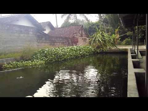 Kolam gurame ramah lingkungan