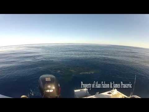 Great White Shark Encounter Off Lorne, Victoria, Australia