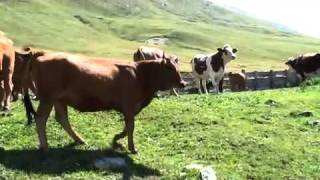 Vaches Tarines et Abondances.m4v
