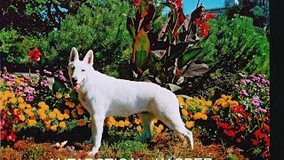 5 Incredible Dog Tricks By Kasper Canada Plus More Amazing White German Shepherd Dog Training Stunts