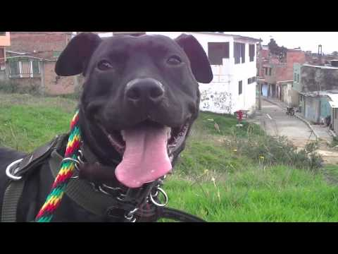 Black american pitbull terrier