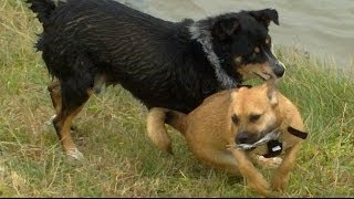 Excitable Louie (rottweiler X) Puppy & Sidney Border X Kelpie Playing Hard At The River.