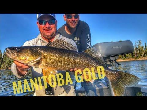 Golden Manitoba WALLEYE #walleyefishing #jigfishingwalleye #canadianwalleye