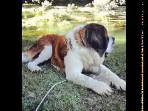 St Bernard Growing Up Life Of Rio