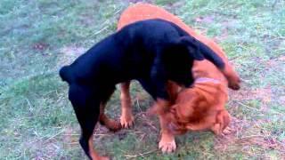 Rottweiler Vs. Bordeaux Dog
