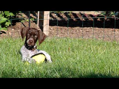 German Shorthaired Pointer puppy, Ruby, thinks life is a ball