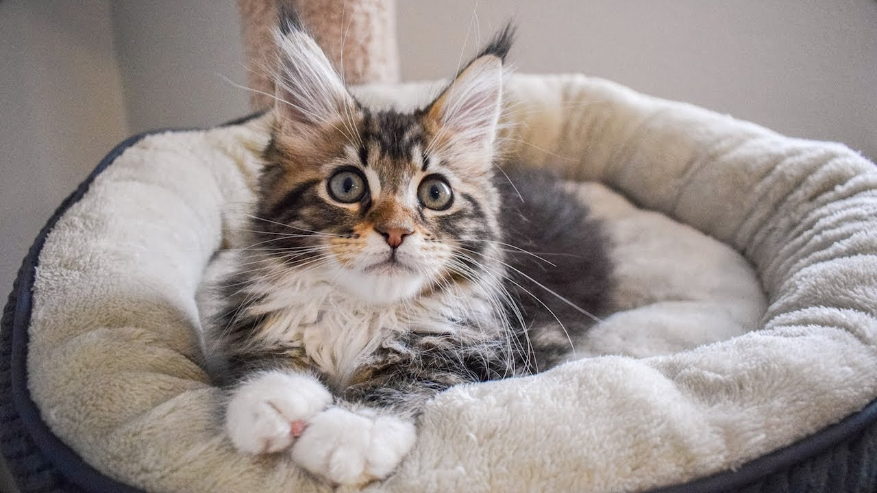 Maine Coon Kitten Molly Kneading And Going To Sleep 12 Weeks Youtube
