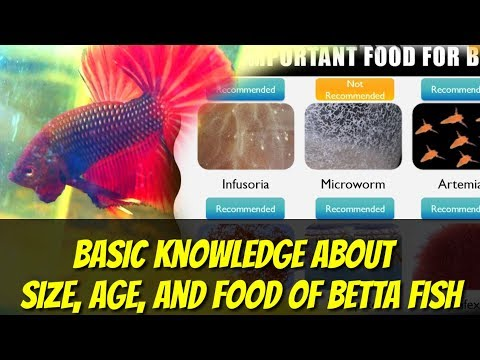 BASIC KNOWLEDGE ABOUT SIZE, AGE, FOOD OF BETTA FISH