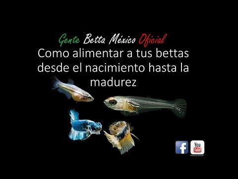 GENTE BETTA MEXICO OFICIAL-Como Alimentar A Tus Bettas Desde El Nacimiento Hasta La Madurez