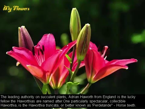 beautiful lily flowers, Natural flower