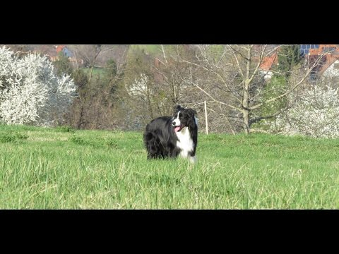 caesar-~-border-collie's-dog-tricks